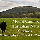 Mount Cannibal Australian Native Orchids by David  Piko