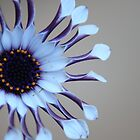 African daisy by kerenmc