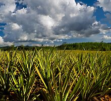 Pineapple Field by Dave Lloyd