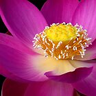 Pink Lotus by Robyn Carter