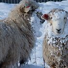 We got Hats &amp; Scarves to match the Snow! - Sheep - NZ - Southland by AndreaEL
