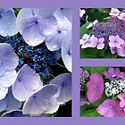 LACECAP HYDRANGEAS by Joan Harrison