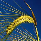 Barley by photontrappist