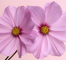 Pink Cosmos 1 by Brian Haslam
