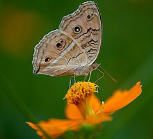 Butterfly and The Yellow Flower by Mukesh Srivastava