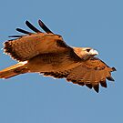 091810 Red Tailed Hawk by Marvin Collins