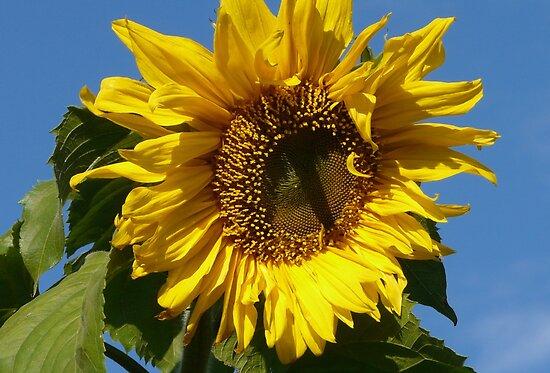 Sunny Sun Flower by MaeBelle