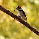 Morning Inspection ~ Hairy Woodpecker  by DJ LeMay