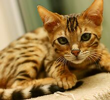Bengal Kitten - Quincy by Mel Preston