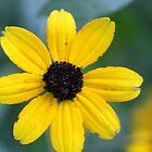 Yellow Flower- Marengo, Illinois by nielsenca13