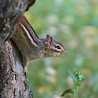 The Softest Chipmunk Ever by Korey Chandler