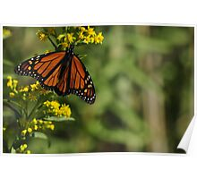 Monarch Butterfly on Goldenrod, As Is Poster