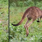 "Western Grey Kangaroo ~ ""Hello and Goodbye"" by Robert Elliott"