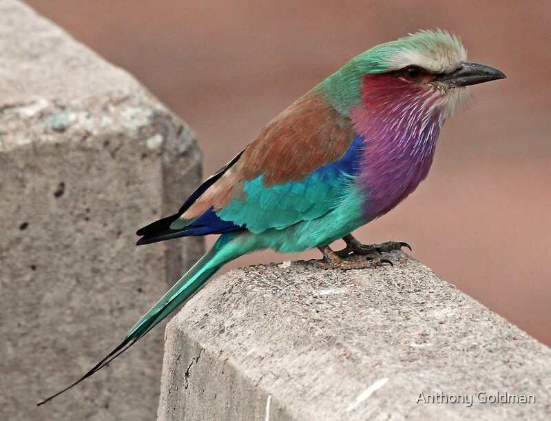 Lilac breasted roller on a bridge wall by jozi1