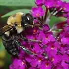 Bee on Butterfly Bush by Karen Checca