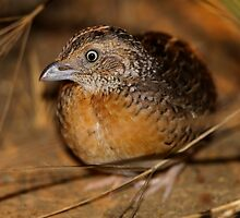 Red-chested Button-quail  by naturalnomad