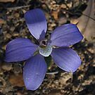 Blue china Orchid by Rick Playle