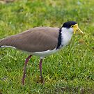 Masked Lapwing by Frank Yuwono