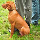 Hungarian vizsla (retriever)_2010Sept by ambrusz