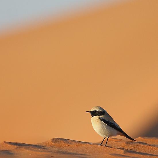 Desert Wheatear  by David Clark