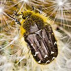 Apple Blossom Beetle (Tropinota hirta) on Dandelion by Gabor Pozsgai