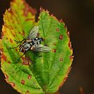 Fly on a Leaf by Teresa Young