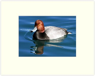 Redhead  Duck ~ Male II by Kimberly Chadwick