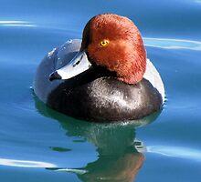 Redhead Duck ~ Male by Kimberly Chadwick