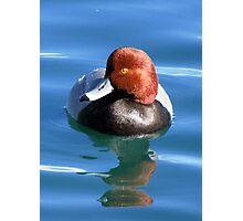 Redhead Duck ~ Male Photographic Print