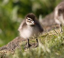 baby Wood Duck by mosaicavenues