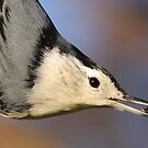 White-breasted Nuthatch Portrait by naturalnomad