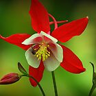 Aquilegia and fly by Tarolino