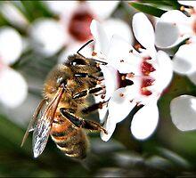 Bee in Geradlton Wax flowers by Jodi Kneebone