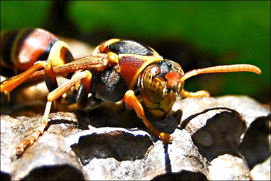 Paper Wasp guarding eggs by Jodi Kneebone
