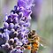 Lavender Bee by Jodi Kneebone