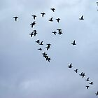Pelicans Flight Formation by Loisb