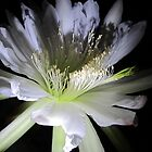Cereus Around Midnight by jsmusic