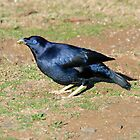 Satin Bowerbird (Male) - Paluma by Alwyn Simple