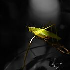 Grasshopper in Black and white background by vasu