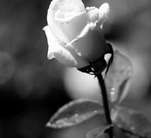 White Rose by Brent McMurry