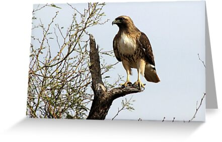 Red-tailed Hawk ~ Poser by Kimberly Chadwick