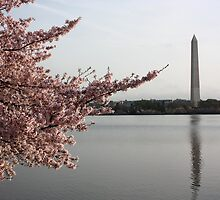 Cherry Blossoms Washington Monument,   by buster51003