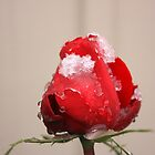 Frozen Rose by buster51003