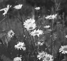 A field of Daisies by Lynn  Gibbons