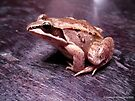 Brown Morph Wood Frog - Rana Sylvatica by Barberelli