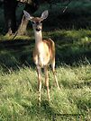 Confident and Curious - Deer by Barberelli