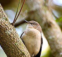 Mocking Bird by imagetj