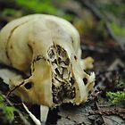 Skull of Raccoon by Sean LaBelle