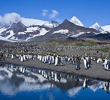 King Penguin reflections by Michael S Nolan
