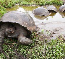 Galapagos Giant Tortoise by tara-leigh